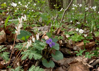 Spring Ephemerals at Isley Park Woods LKW4695